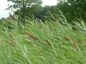 Phragmites australis in August