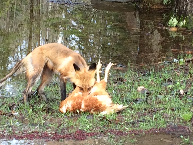 fox with hen